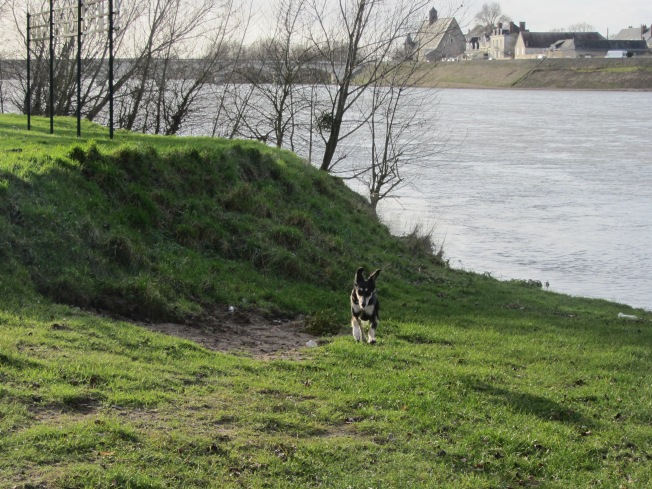 Sasha enjoying a good run by the Loire on L'Ile d'Or