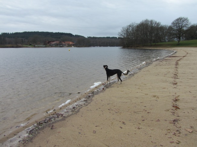 Sasha cooling down after a run at Lac de St Pardoux