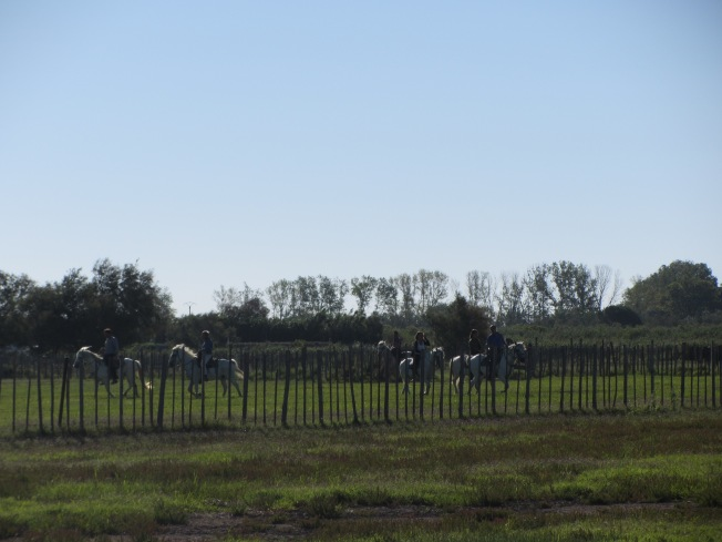 The Gardians of the Camargue at work rounding up the bulls