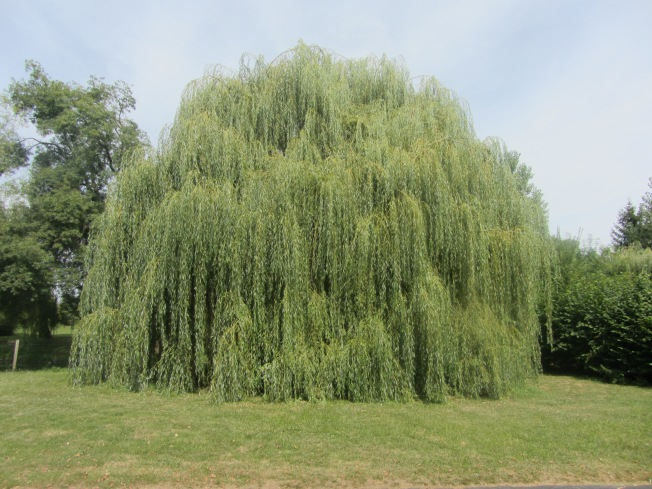 I love this HUGE willow tree at Camping La Tete Noire