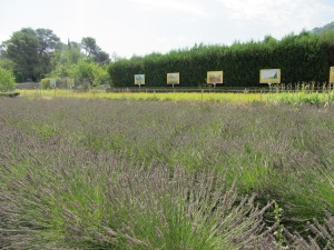 Lavender and Van Gogh's painting on the spot where they were created