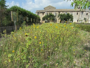 The sunflowers with Monastery in background