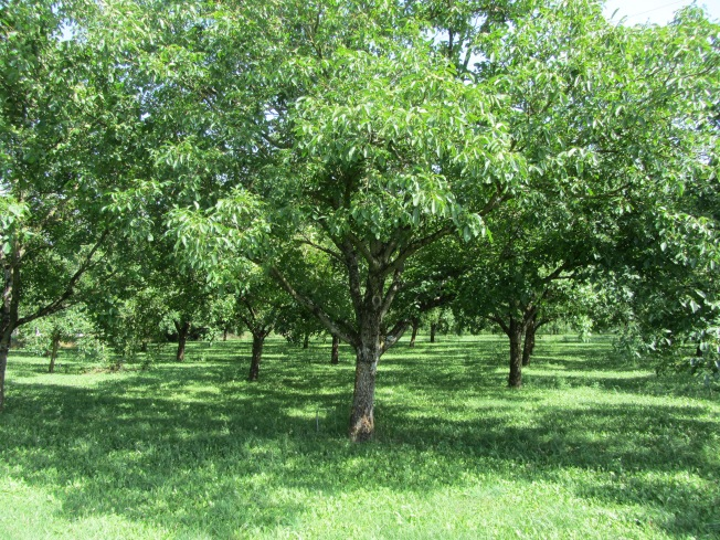 Walnut and cherry trees at Les Cerices en Fête