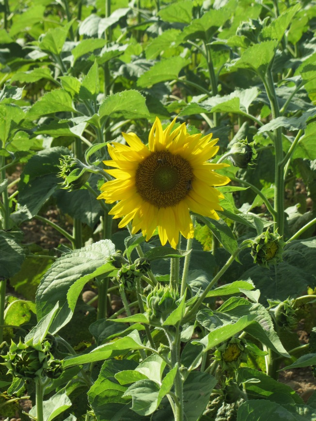 Sunflowers on our walk round the farm