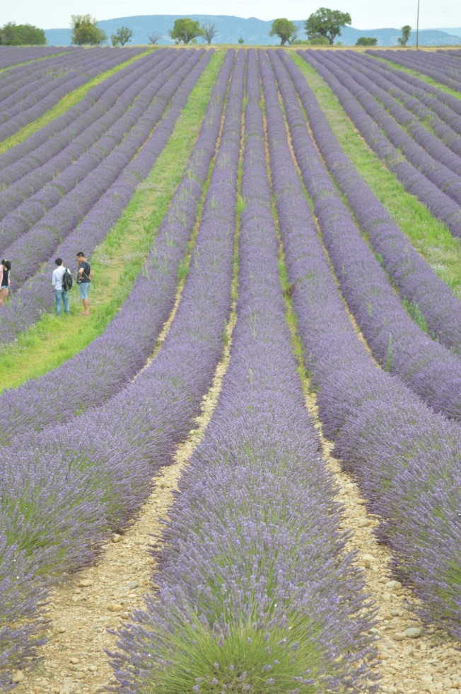 Visitors enjoying the fields and scent of lavender