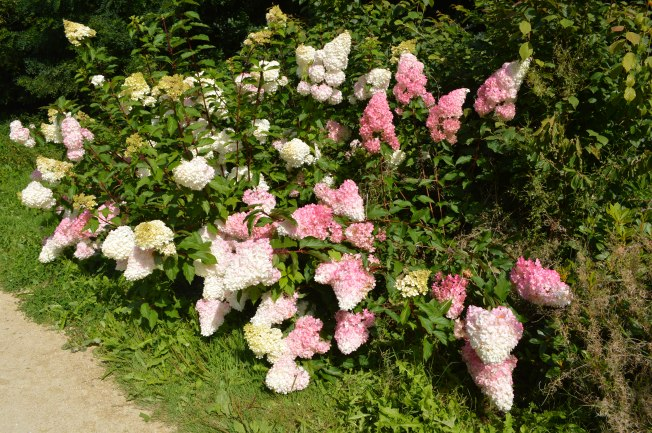 The gorgeous hydrangea bush with conical flowers