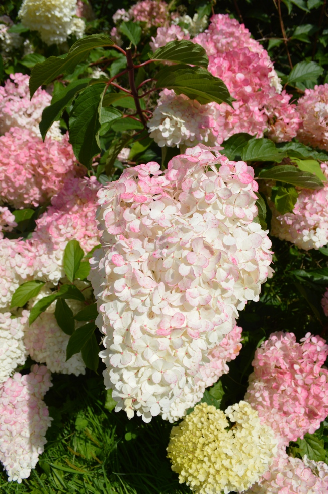 Amazing conical hydrangea flowers