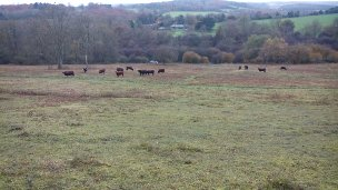 Back to the beautiful Sussex cattle