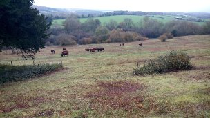 The newly re-introduced Sussex cattle