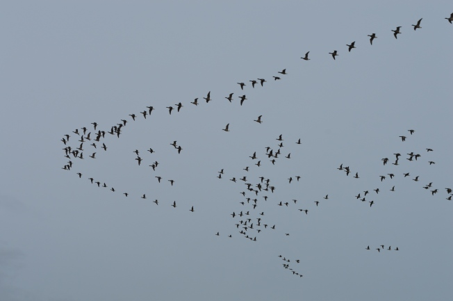 Migrating geese at Climping Beach, West Sussex