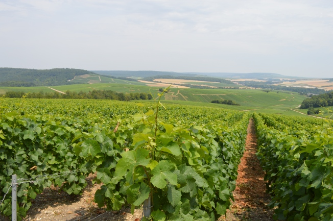 Champagne fields