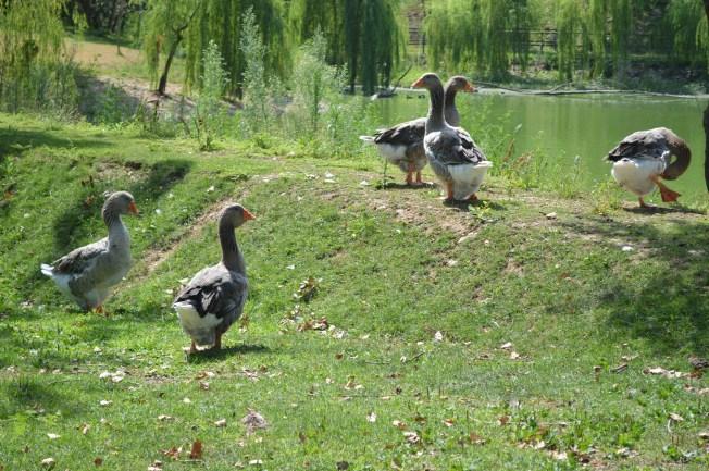 Geese at Monzambano's sosta