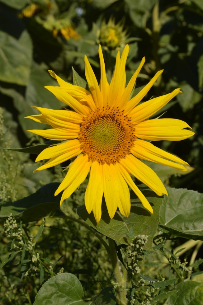 I couldn't resist this happy sunflower by the river Charente